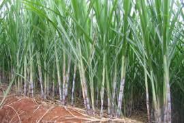 巴西糖业给我的震撼